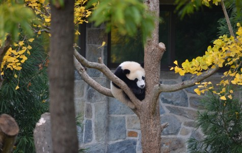 Panda focused: The stars of the national zoo